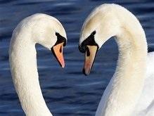 В Британии иммигранты съели лебедей королевы