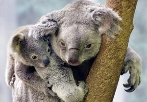 В Австралии из зоопарка похитили коалу