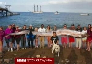 На берег выбросило гигантского сельдяного короля - видео