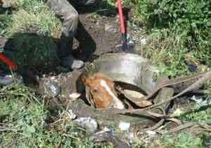 В Хмельницкой области конь провалился в канализационный люк