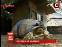 В Иерусалиме стартовали гонки черепах-инвалидов