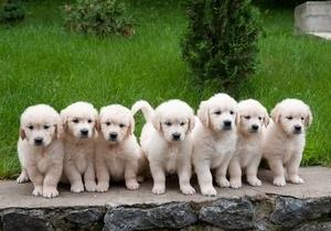 У звездной пары голден ретриверов родились 7 щенков