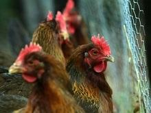 Дарвин ошибся относительно происхождения кур