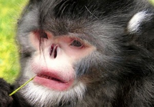 Чихающая обезьяна и паразитическая оса стали отдельными видами