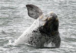 Самка кита установила рекорд миграции млекопитающих, преодолев расстояние в десять тысяч километров