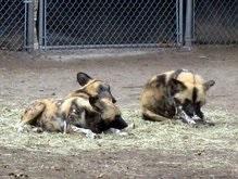Африканским диким собакам грозит полное исчезновение