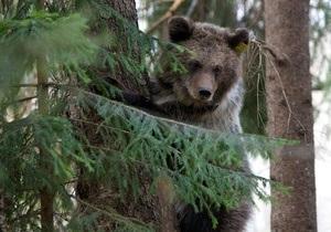 В Швейцарии по решению властей застрелили последнего медведя в стране