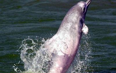 Открыт ранее неизвестный вид горбатых дельфинов