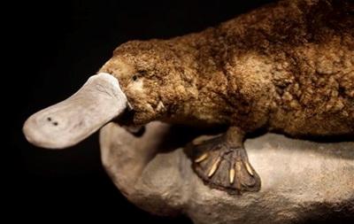 В Австралии нашли останки вымершего вида утконосов