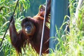 В австралийском зоопарке орангутан обезвредил охранную сигнализацию