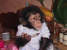 Для поиска сбежавшего шимпанзе калифорнийцы наняли вертолет