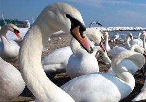 Киевскому зоопарку подарили лебедя