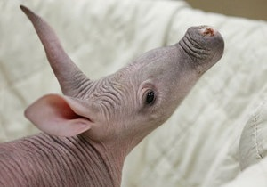 новости России: В российском зоопарке впервые родился трубкозуб