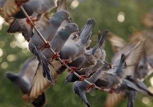 В Голландии на аукционе продали колонию голубей за 1 367 000 евро