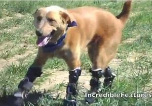 В США пес стал первым в мире животным с бионическими протезами