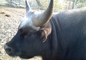 В Киевском зоопарке умерла самка гаяла