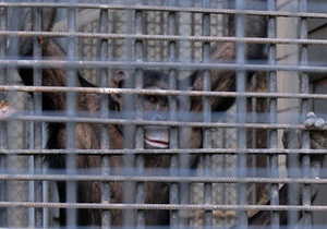 СМИ: Киевский зоопарк собирает деньги на телевизор для гориллы