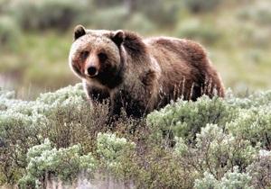 В национальном заповеднике США медведица гризли растерзала туриста