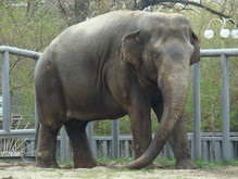 В Киевском зоопарке завтра отпразднуют День слона
