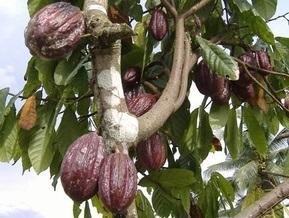 В мире рекордно подорожало какао
