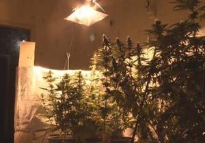 Новости Одессы - В Одессе обнаружили плантацию голландской марихуаны