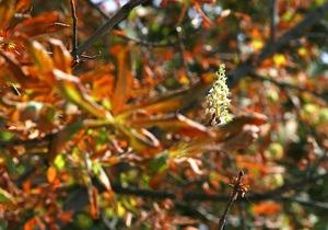 В октябре на Крещатике высадят новые каштаны