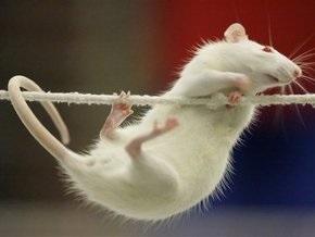 Крысы оказались универсальными азартными игроками