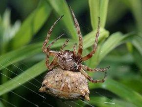 Ученые: из-за глобального потепления пауки увеличиваются в размерах