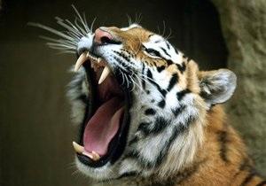 Новости США - новости о животных: Во Флориде из желудка тигра удалили почти двухкилограммовый комок шерсти
