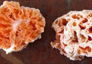 Новый вид грибов назвали в честь Губки Боба