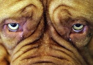 Британцы стали чаще отдавать своих собак на пластические операции