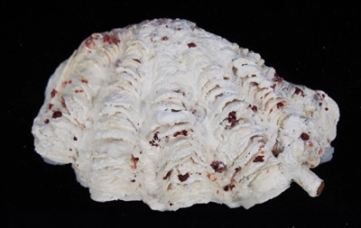 Австралийские ученые обнаружили новый вид гигантских моллюсков