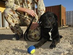 Собака-сапер австралийского контингента в Афганистане нашлась через год после пропажи