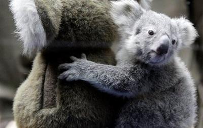 Ученые разгадали тайну низкого рыка коал