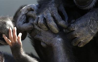 В Нью-Йорке шимпанзе отказали в правах человека