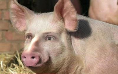 Японские ученые создают  свиночеловека
