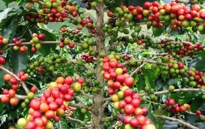 В ближайшее время цена кофе Арабика на мировых рынках не изменится