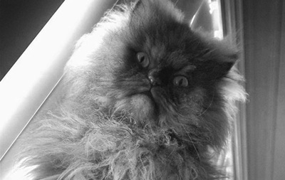 В США умер самый длинношерстный в мире кот - Полковник Мяу