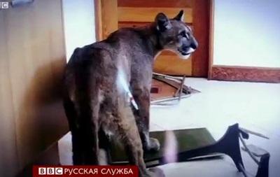В Чили пума забралась в квартиру