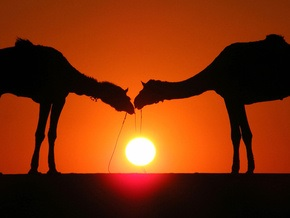 Украина дала согласие на ввоз верблюдов из России