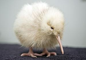 В Новой Зеландии найшли партнера для редкой белой киви