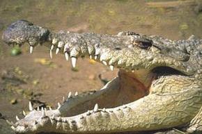 Японец выбросил на улицу крокодила из-за кризиса