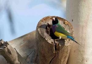 Самцы птиц-амадин при встрече с незнакомыми самками пытаются блефовать