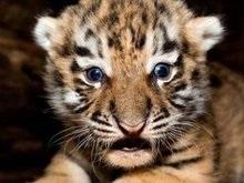 В Германии родились пятеро тигрят
