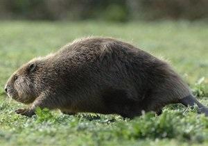 В Латвии пройдет конкурс по отпугиванию бобров