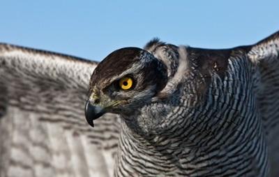Ястреб будет защищать голубей мира в Ватикане