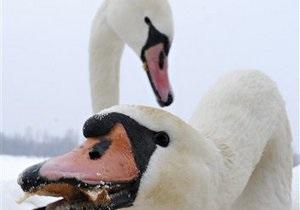 Жители Конча-Заспы помогут пережить зиму осевшей на Днепре стае лебедей