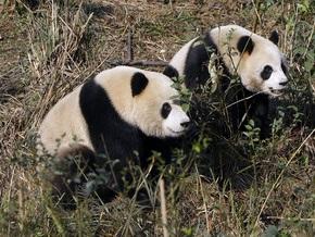 WWF: Панды вымрут через три поколения