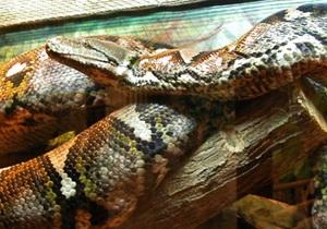 Книга рекордов Украины замерит гигантского питона Сетку из Николаевского зоопарка