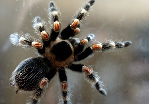 На голландской границе задержали немецких туристов с 200 тарантулами